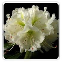 rhondodendron-cat-newcentury