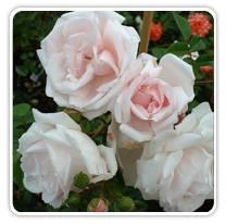 rosa-new-dawn