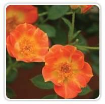 rosa-osoeasy-paprika
