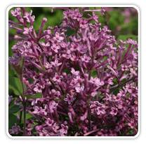 syringa-bloomerang-purple