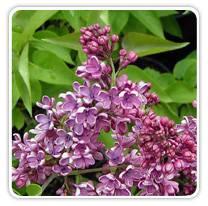 syringa-royal-purple