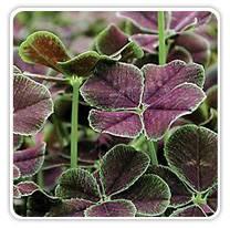 trifolium-dark-dancer