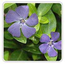 vinca-minor-dartblue