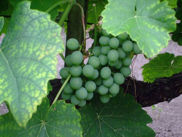 white_grape